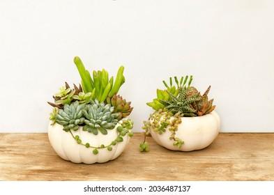 Succulents mix arrangements in white pumpkin planter on wooden table ,white background Halloween decoration idea