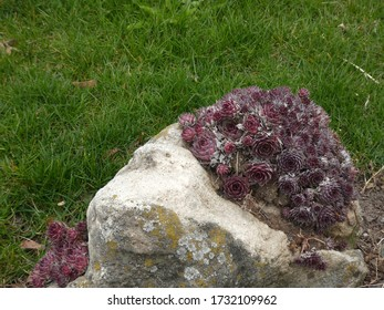 Succulents on the stone as a flower bed