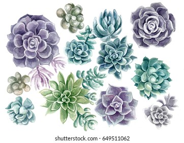 Succulents painted with watercolor on a white background. Color cacti. A stone rose. Flowers from the desert.