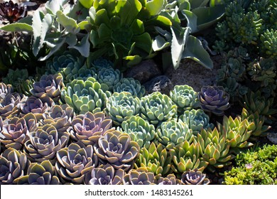 Succulents Perle von nurberg and Echeveria. Succulents in the garden on a natural background. Beautiful flowerbed with succulents.