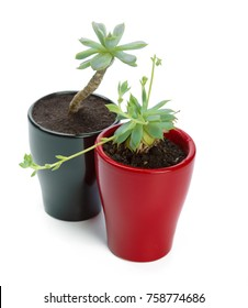 succulents plant in pot on white background