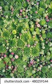 Succulents plants natural background. Fresh green succulents in the nature.