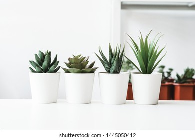 Succulents. Potted small house plants, home interior