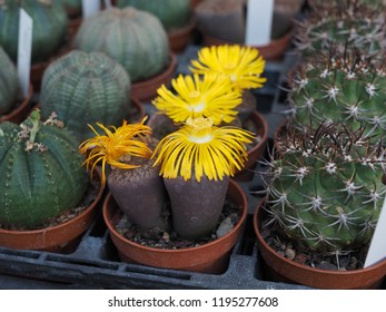 Succulents for sale. Lithops, yellow flowers.
