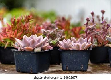 Succulents in small black pots