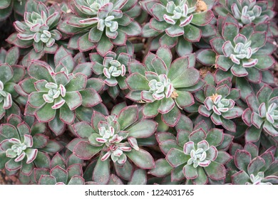 Succulents are strange and wonderful plants with beautiful exotic foliage, this is Red Velvet Echeveria (Echeveria pulvinata 'Red Velvet'), a beautiful succulent species in the Crassulaceae family.