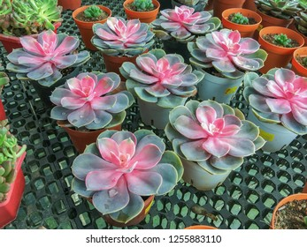 Succulents with striking pink color at the center of the rosette. Echeveria Perle Von Nurnberg.