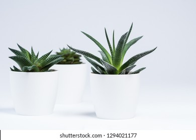 Succulents with white background