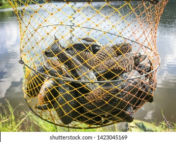 Sucker-mouth Armored catfish (Hypostomus plecostomus) in fish net catching at nature lake thailand.