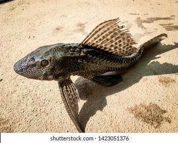 Sucker-mouth Armored catfish (Hypostomus plecostomus) on ground under the sun.