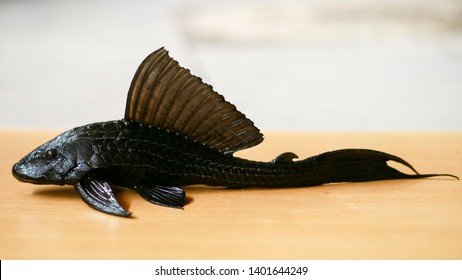 Sucker-mouth catfish (Hypostomus plecostomus) on wood background.