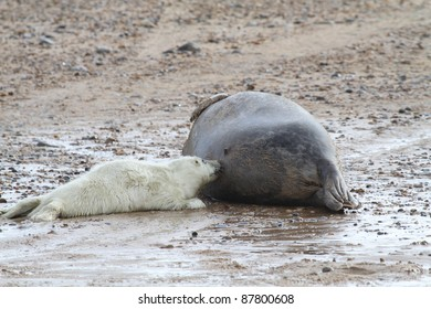 suckling grey seal pup