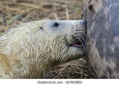 Suckling Grey Seal Pup on Grass Dune in Winter