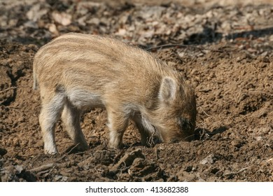 Suckling Pig Wild Boar In The Forest