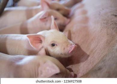 Suckling piglets suckling a sow farm.