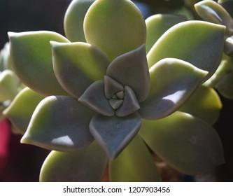 Suculent green plant