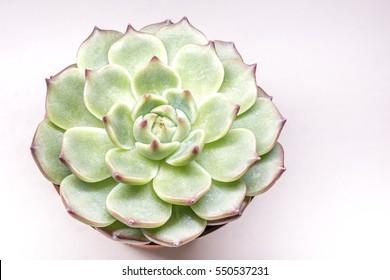 Suculent plant