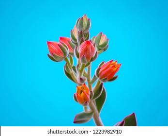 suculent plant blossoming olorful flowers