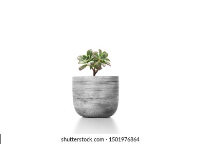 Suculent plant in cement vase pot  isolated on white background vase ornament