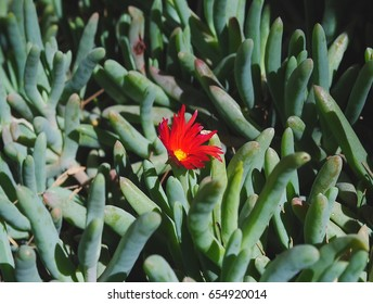 Suculent plant with flower