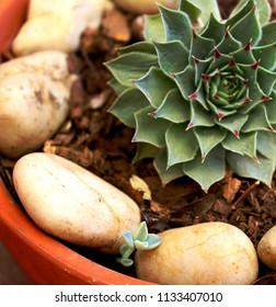 Suculent Plant  Stone