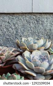 suculent plants. Crass ornamental plants in flowerpots.