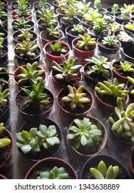Suculent plants in pot