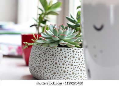 Suculent plants in white Scandinavian style pot