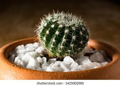 Suculenta cactus vaso ornamental cactae