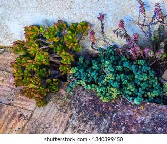Suculents plants in old garden