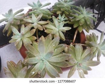 Sucullent Plant Sedum Adolphii