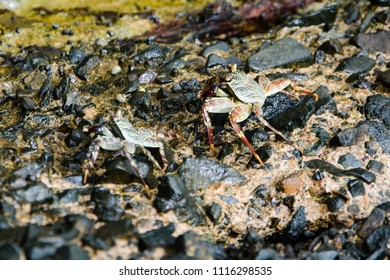 Sudan - April 2018. Crab walking on the rock