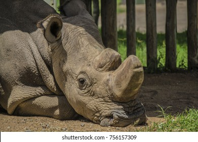 Sudan the last northern white rhino