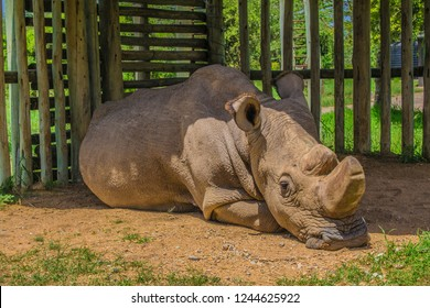Sudan Rhino sleeping
