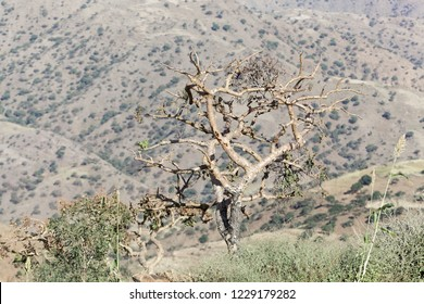 Sudanese frankincense tree (Boswellia papyrifera) in the Ethiopian mountains.