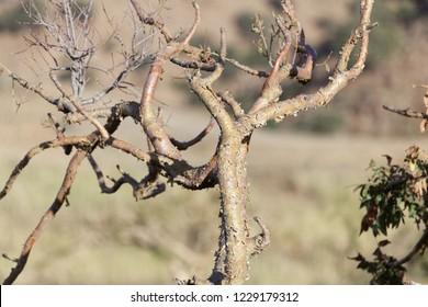 Sudanese frankincense tree (Boswellia papyrifera) in the Ethiopian mountains.