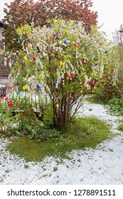 sudden cold snap at eastertide with fresh fallen snow on blooming bush with colorful easter eggs