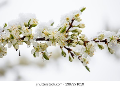 Sudden snowfall covering cherry tree blossoms with snow and ice in springtime in May, Northern Europe. Climate change concept.