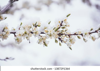 Sudden snowfall covering cherry tree blossoms with snow and ice in springtime in May, Northern Europe. Climate change concept. Instagram style filter, artistic colors.
