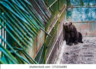 Suffering bear in a zoo with no living conditions. Save and protect the animals concept.