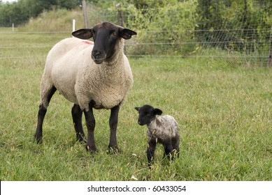 Suffolk baby sheep with mother sheep on the farm