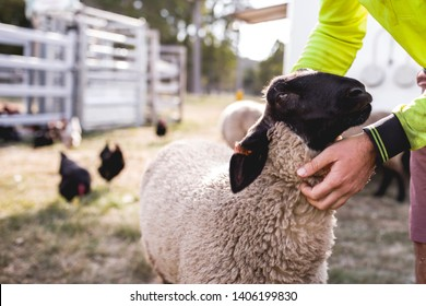 Suffolk black and white sheep being pet