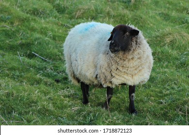 Suffolk breed ewe sheep on farmland in rural Ireland