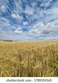 Suffolk Corn Field In August. East Anglia At It's Finest