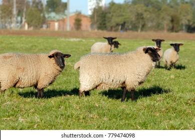 Suffolk mature sheep, Suffolk sheep are gown mostly for meat and wool they are easy to recognize because of the black face.