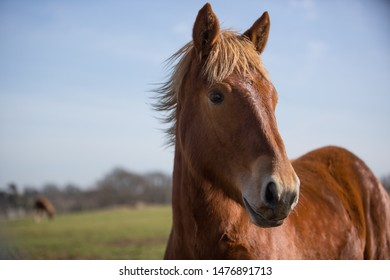 A suffolk punch horse. A very rare breed in Suffolk, England