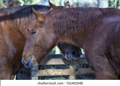 Suffolk Punch horses feeding