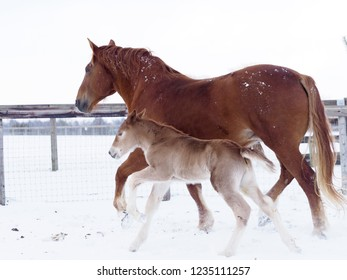 A Suffolk punch mare and foal in the snow.