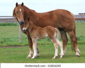 A Suffolk Punch mare stands alongside its foal