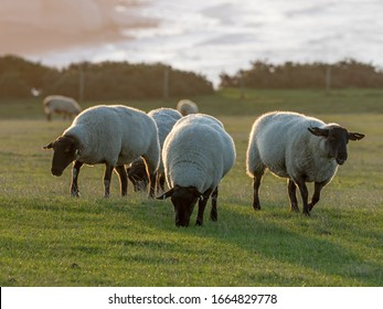 Suffolk Sheep ewes back lit by rising sun on Seaford Head in East Sussex.